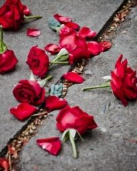 14992216 - broken rose petals on dirt
